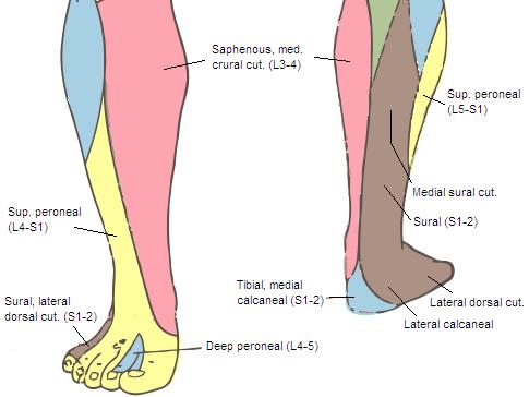 cambridge orthopaedics - ankle block, uk, Muscles